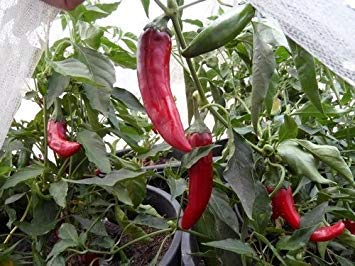Used, PlenTree 10+ Seeds of Kalocsa Paprika Capsicum Annuum for sale  Delivered anywhere in USA