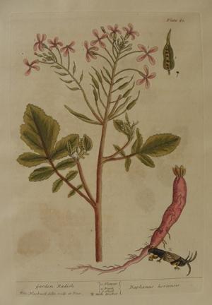 (pl. 81 Garden Radish )