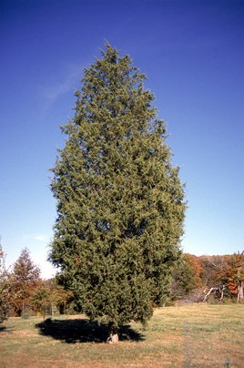 Tree Seeds Juniperus Virginiana Eastern Red Cedar Trees - 1,000 Seeds