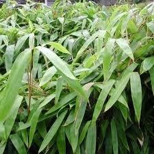 Box of 10 Indocalamus Tessellatus, Cold Hardy Tropical Bamboo Plant.