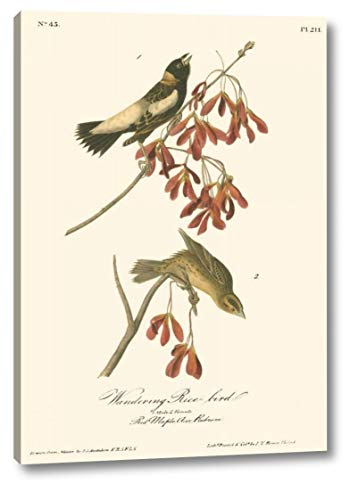 (Wandering Rice Bird by John James Audubon - 13
