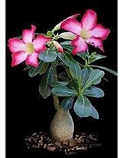 TROPICA - Desert Rose (Adenium obesum) - 8 Seeds - Cacti / Succulents
