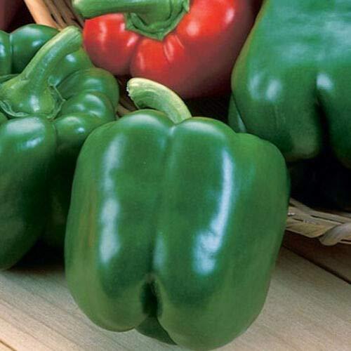 Yolo Wonder Bell Pepper-Great Yielding Bell Pepper!! Sweet & Juicy (24+ Seeds) AKE -223