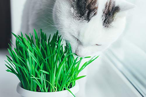 100 Organic Cat Grass Seed Non Gmo Buy Online In Uae