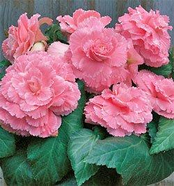 (3 Begonia - Picotee - Lace Pink bulbs)