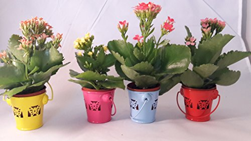 Kit set party collection Kalanchoe' - 4 plants 2