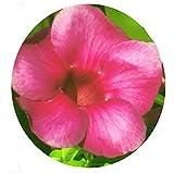 Cherry Cherries Jubilee Allamanda Vine Live Semi Tropical Plant Dusty Burgundy Mauve Pink Trumpet Flower Starter Size 4 Inch Pot Emerald Tm