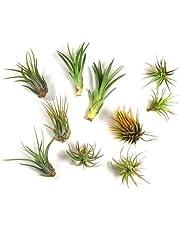 5 Pcs Tillandsia Air Plant Variety Pack - Bulk Assorted Species of Live Tillandsia Air Plants for Sale - Wholesale Indoor Terrarium Air Plants Live (5)
