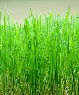 100 Certified Organic Wheatgrass Powder product image