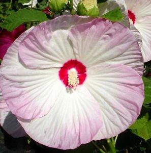 Amazoncom Hibiscus Moscheutos Luna Blush Rose Mallow 10seeds