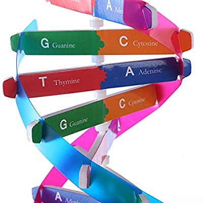 PeleusTech Human Genes DNA Models Double Helix Science Popularization Teaching Aids for Children Adults - with Instructions: Toys & Games