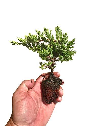 Juniper Procumbens Nana - 3 Live Plants - Drought Tolerant Evergreen Groundcover - Great for Bonsai