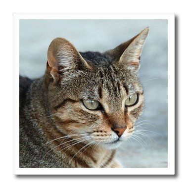 (3dRose ht_16934_1 Tabby Cat Portrait Iron on Heat Transfer Paper for White Material, 8 by 8