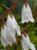 Campanula alliariifolia - Beautiful and rare Bellflower,Must Grow Perennial