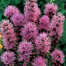 (50+ LIATRIS Prairie Blazing Star/Perennial Flower Seeds#alph0449)