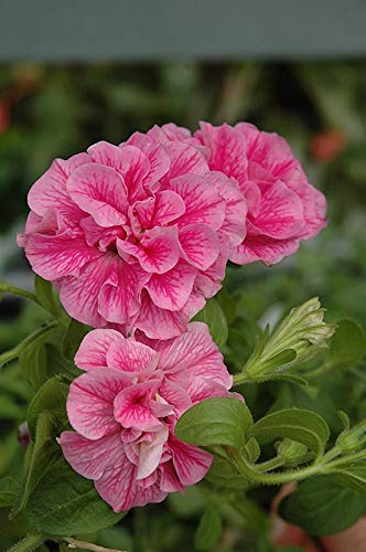 Double Petunia - Wave Series - Pink - 4 Live Starter Plants