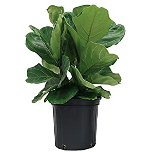 delray plants fiddleleaf fig ficus pandurata in pot