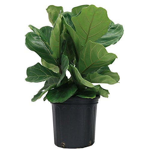 Delray Plants Fiddle-Leaf Fig (Ficus Pandurata) in Pot