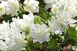 Autumn Angel Encore Azalea- The Most Colorful Repeat-Blooming White Azalea