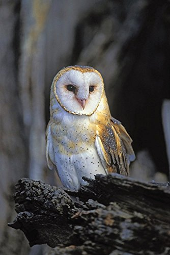 TSlook Poster Print on Canvas wall decorations Barn Owl 12x16 inches Unframed