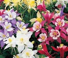 Columbine Mixed Colors Aquilegia Caerulea - 500 Bulk Seeds - Columbine Mixed Colors