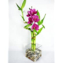 9GreenBox - Live Spiral 3 Style Lucky Bamboo Plant Arrang w/ silk Orchid & Glass Vase & Stone