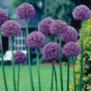 Amazon Com Giant Gladiator Allium 1 Bulb Garden Outdoor