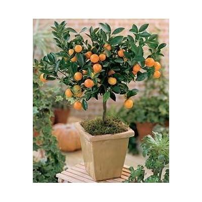 Citrus Mitis Calamondin-Minature Orange Tree 35 Seeds : Garden & Outdoor