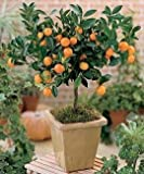 Citrus Mitis Calamondin-Minature Orange Tree 35 Seeds