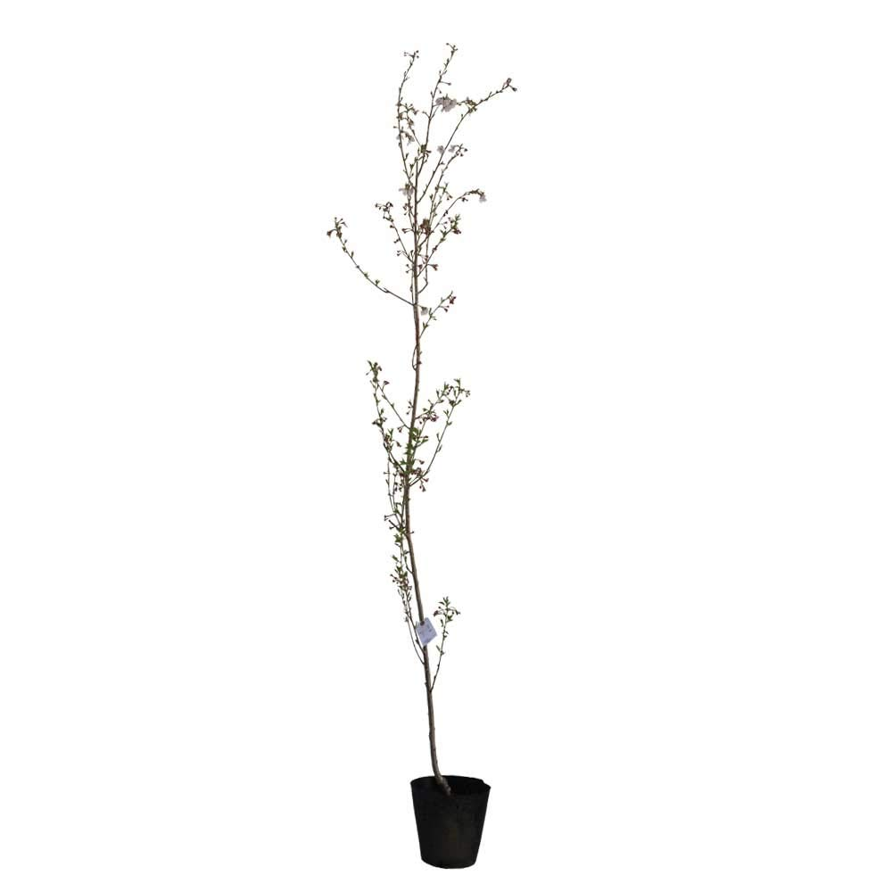 サクラ 十月桜 (ジュウガツザクラ) 樹高1.8~2.0m前後 (根鉢含まず) B01MDT9A6N