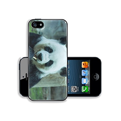 MSD Premium Apple iPhone 5 iphone 5S Aluminum Backplate Bumper Snap Case Image ID 24949009 giant panda bear eating bamboo for food Chiang Mai Zoo in (Chiang Mai Zoo)