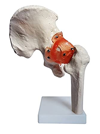 Anatomy model of human hip joint bones anatomical joint models for anatomy model of human hip joint bones anatomical joint models for teaching life size with ccuart Choice Image