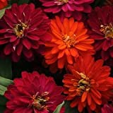 50 Zahara Double Duo Zinnia Seeds - My Secret Gardens