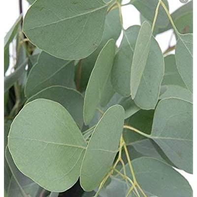 Cheap Fresh Tree Seeds Eucalyptus Cinerea Silver Dollar Eucalyptus Get 10 Seeds Easy Grow #GRG01YN : Garden & Outdoor