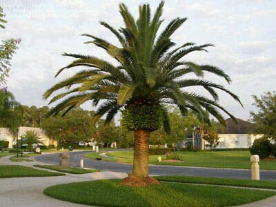 1 Phoenix canariensis/Canary Palm 4