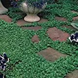 Outsidepride Dichondra Repens Ground Cover Plant Seed - 5 LB