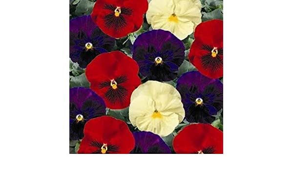 50 Pansy Seeds Delta Wine And Cheese Mix