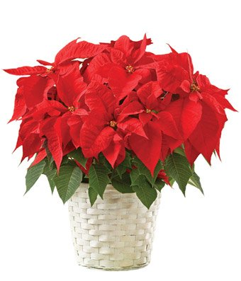 Loving Poinsettia - eshopclub Same Day Christmas Flower Delivery - Online Christmas Flowers - Christmas Flowers Bouquets & Plants - Send Christmas Centerpiece by eshopclub