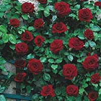 Modern Plants Live Climbing Rose Black Boy Flower Plant With Pot