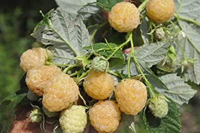 Raspberry Yellow Green - raspberry - 20 seeds