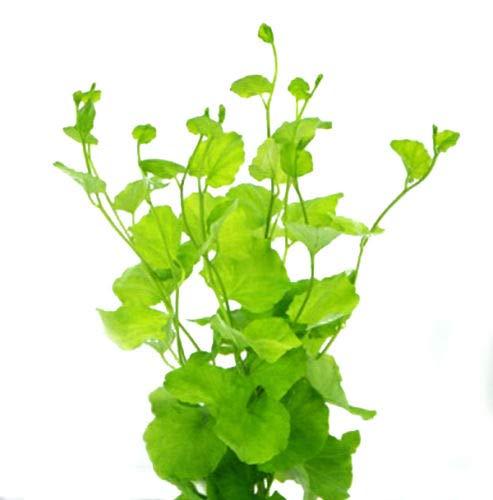 Aquarium Plants Cardamine Lyrata Bunch Live Japan Dwarf Pennywort Aquarium Live Plant Freshwater -
