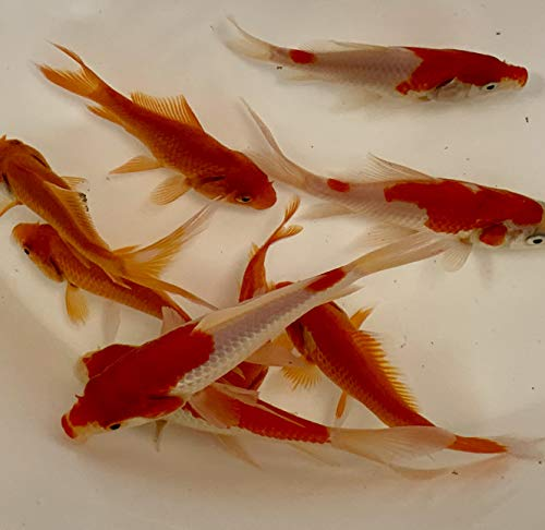 Toledo Goldfish Live Sarasa and Comet Goldfish Combo for Aquariums, Tanks, or Garden Ponds Live Goldfish - Live Arrival Guarantee (3-4 inches, 12 Fish, 6 of Each)