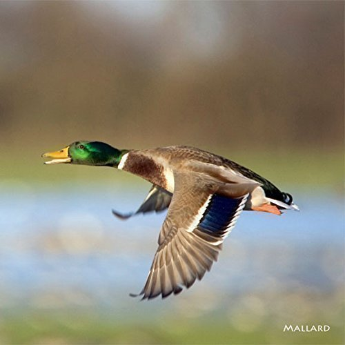 Mallard Duck Facts (Noisy Mallard duck greeting card which plays quacking sound when opened. Blank on the inside for any occasion. Envelope included. Powered by alkaline batteries which last 150+ openings)