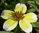BUR MARIGOLD Bidens Aureas - 250 Bulk Seeds