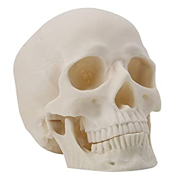 Human Skull Art Teaching Model Medical Realistic 1:1 Adult Size Replica Resin,Scary Halloween Decorations
