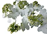 "Snowball Bush 6""- 18"" Viburnum plicatum 'Mariesii' - 3.5"" Healthy Potted Plant - 3 Pack by Growers Solution"