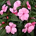 65 Baby Pink Impatien Seeds - DH Seeds - Cute PINK Blooms - UPC0687299670932