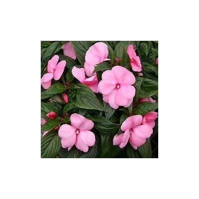 65 Baby Pink Impatien Seeds - DH Seeds - Cute PINK Blooms - UPC0687299670932 : Garden & Outdoor