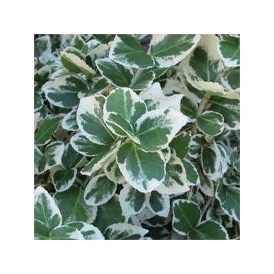 """Euonymus-White-Album- 8"""" Jumbo Pot (Shrub) : Garden & Outdoor"""