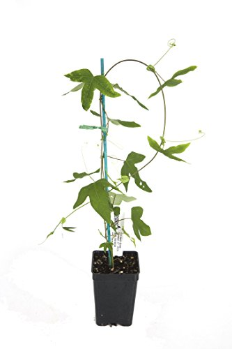 Passion Flower 'Blue Bouquet' (Passiflora hybrid)